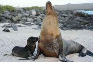 Mom & Baby Sea Lion Galapagos