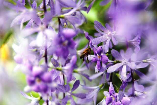 Bee at Botanic Gardens
