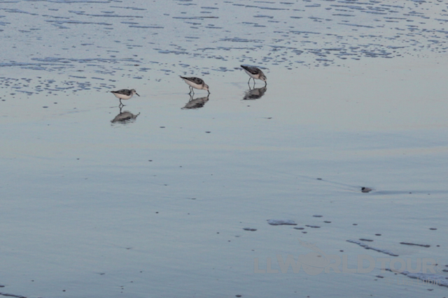 Sandpipers at the Beach