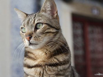 Cats of Portugal