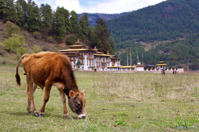 Free Range Baby Cow