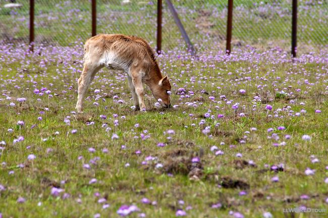 Cow in a Field of Flowers