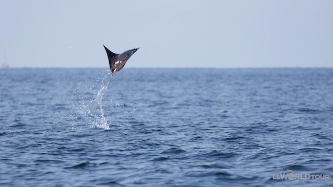 Jumping Manta Ray