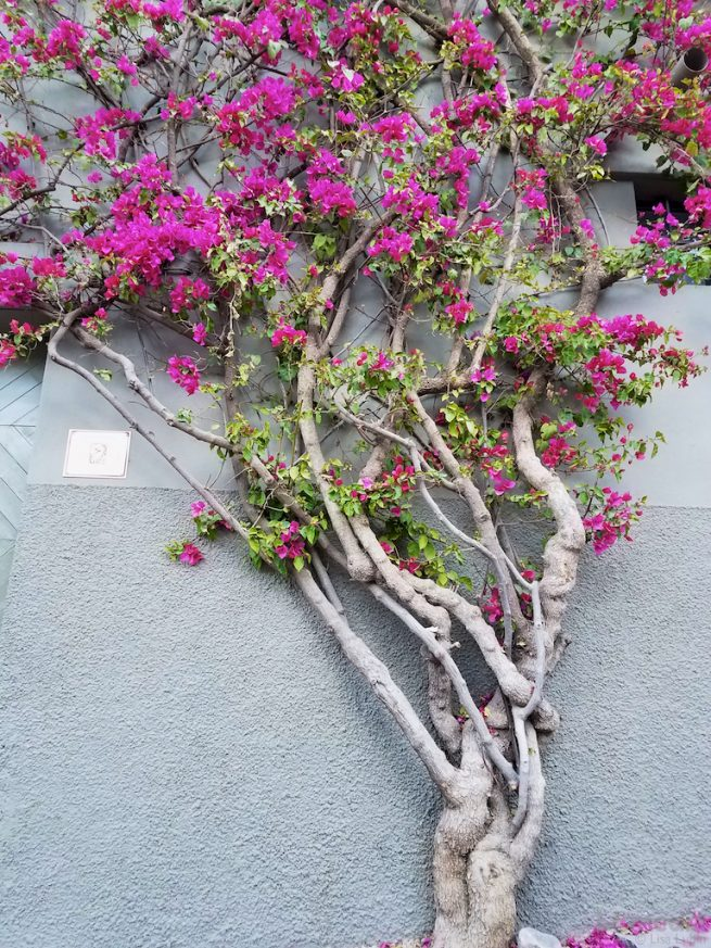 bougainvillea wall Mexico