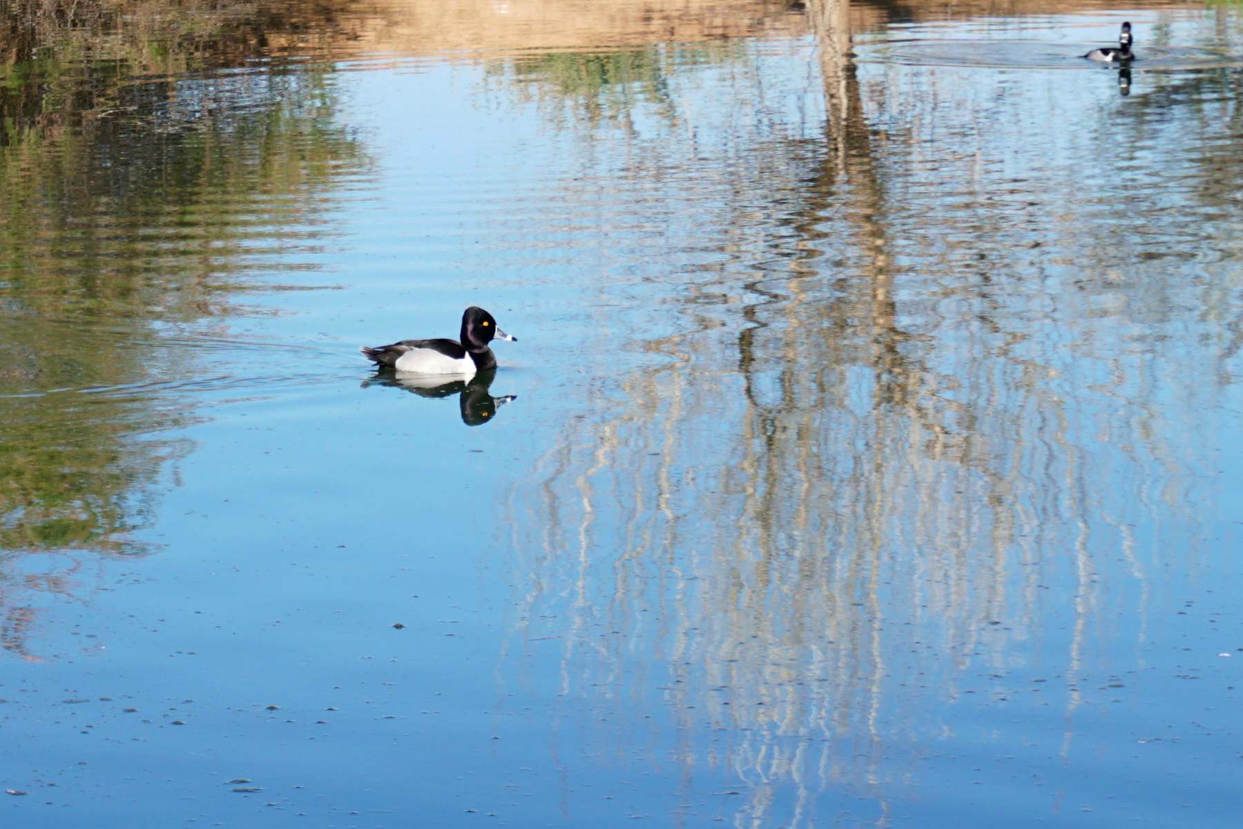 Riparian Preserve Ducks