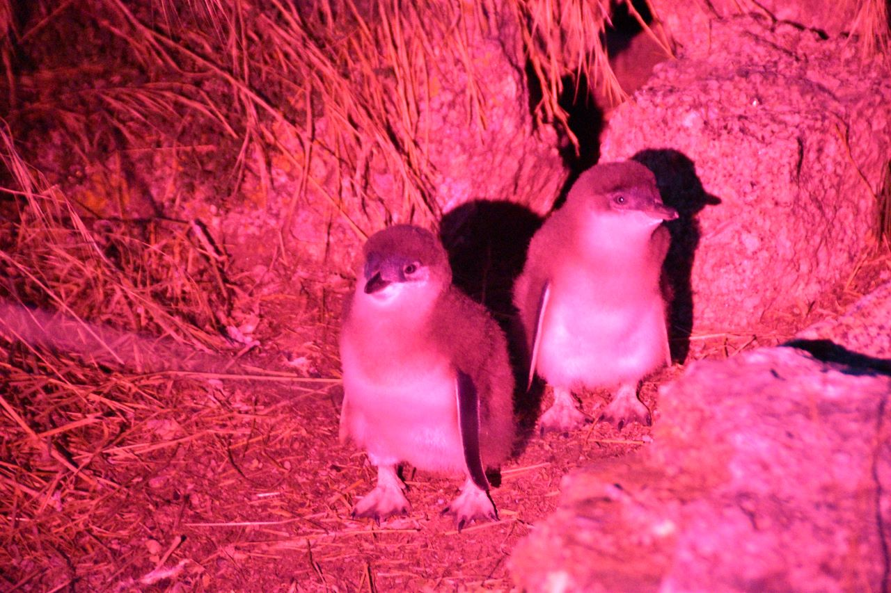 Little Penguins Curious Campers